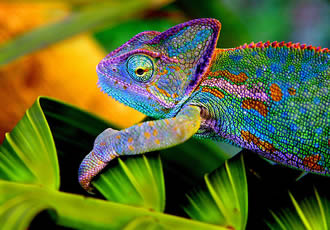 chameleon colors